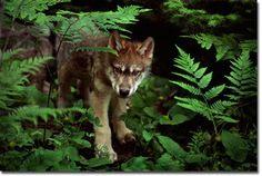 Wolf pup...  Jim Brandenburg