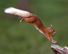 "Ardilla roja del Parque Nacional Cairngorms (Reino Unido, imagen finalista del concurso ""Mammal Society Photographer of the Year 2013""."