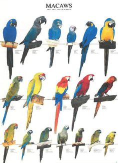 The macaws are a colorful group of parrots mostly found in Central and South America. The long tails of these beautiful birds are among their distinguishing characteristics. Parrot Pet, Parrot Bird, Exotic Birds, Colorful Birds, Pretty Birds, Beautiful Birds, African Lovebirds, Animals And Pets, Cute Animals