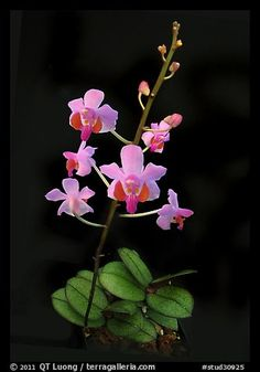 Phalaenopsis Orchid Species   studio images orchids orchid species stud30925 color black and white