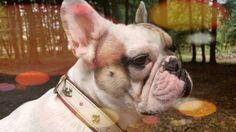 Arthur Vom Wietkiekenberg, French Bulldog
