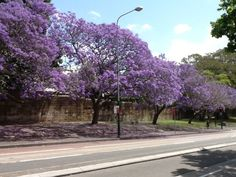 Spotted Magpie - jacaranda tree lined street in Sydney