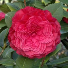 Nuccio's Bella Rossa Camellia is a prized plant for the milder regions (zones 8-10). 4 inch, crimson red blooms open slowly over a long period for an especially long bloom season. Perfect in Asian/Zen gardens.