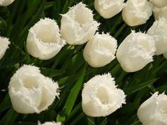 İstanbulda lale zamanı Tulips time in İstanbul  #white #tulips #flower #istanbul #Türkiye #Emirgan #beyaz #lale #çiçekler