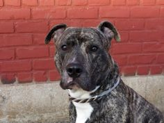 KILLED by NYC!!! SHAME NYC!!!! TO BE DESTROYED 05/24/14 Brooklyn Center - P  My name is TIGER. My Animal ID # is A0999581. I am a male bl brindle and white staffordshire mix. The shelter thinks I am about 1 YEAR 2 MONTHS old.  I came in the shelter as a OWNER SUR on 05/12/2014 from NY 11208, owner surrender reason stated was MOVE2PRIVA. https://www.facebook.com/photo.php?fbid=804616392884575&set=a.611290788883804.1073741851.152876678058553&type=3&theater