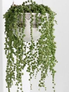 The String of Pearls is such a beautiful and unique houseplant that can brighten up your home any time of the day. Check out how to grow and care for the succulent!