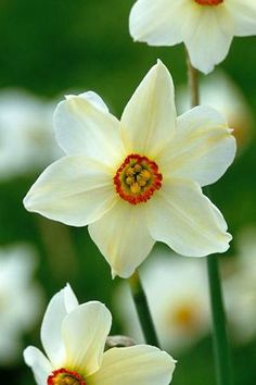 Got some of these for my garden! Can't wait for Spring!     Narcissi 'Pheasant's Eye'