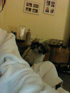 My lovely shit tzu puppy 8 months old #lovehertobits x