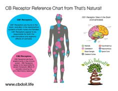 and Receptors are found throughout our body and are naturally responsive to cannabinoids! You have an Endocannabinoid System! See our premium and trusted That's products at www. Natural Anxiety Relief, Endocannabinoid System, Cbd Hemp Oil, Reproductive System, Cannabis Plant, Our Body, Brain, Medicine