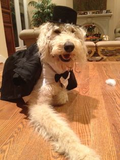 Dapper Harry Howard the Labradoodle