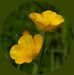 buttercup flower | Buttercup Flower (Ranunculus)