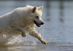 Dog - White Swiss Shepherd - guapo on www.yummypets.com