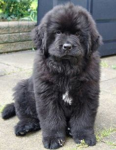 Newfoundland dog, thats one fuzzy pup!