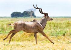 greater kudu antelope - Google Search