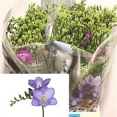 Freesia mercurius single is a beautiful, perfumed Lilac / Purple cut flower. 2018 Wedding Trend: Ultra Violet Purple. For lilac and purple wedding flowers to suit your colour scheme, visit our website at www.trianglenursery.co.uk/fresh-flowers!