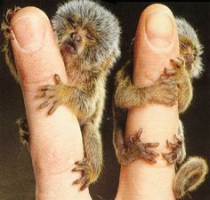 The pygmy marmoset is the smallest monkey in the world.  They are found in the Island of Madagascar
