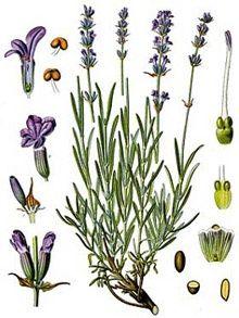 LAVANDA - Lavender - Lavandula angustifolia, L. Vintage Botanical Prints, Botanical Drawings, Botanical Art, Flower Drawings, Art Floral, Impressions Botaniques, Lavender Benefits, Illustration Botanique, Lavandula Angustifolia