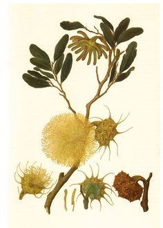 Eucalyptus Conferruminata Artist - Ferdinand Lucas Bauer (1760-1826) Original water colour painting held by the British Museum.