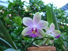 """Phalaenopsis es un género de las comúnmente llamadas """"Orquídea alevilla"""", """"Orquídea mariposa"""" y también """"Orquídeas boca"""" de aproximadamente 60 especies de orquídeas de la subfamilia Epidendroideae de la familia Orchidaceae. Son nativas de todo el sudeste asiático."""