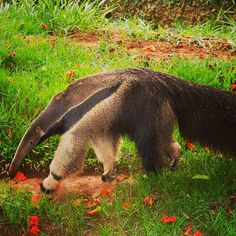 Cute Baby Animal Cute baby animal pictures, cute baby animals Species of the day: The Giant Anteater. Lovely Creatures, Weird Creatures, All Gods Creatures, Baby Zoo Animals, Funny Animals, Cute Animals, Giant Anteater, Akhal Teke Horses, Animals Of The World