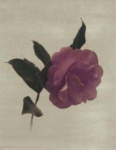 """Flowers in Neutral Moment """"Camellia Japonica"""" Polaroid image transfer 8x10 archival pigment print Photo by Soichi Oshika"""