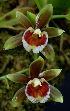 Orchid: Cischweinfia - A new species; Photo by © Pieter C. Brouwer