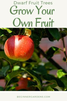 Beginner Gardening Have you ever wanted to grow your own fruit, but don't have space for large fruit trees? Growing dwarf fruit trees can be the answer. Use these tips to grow your own fruit using dwarf fruit trees. Growing Tree, Growing Plants, Growing Vegetables, Dwarf Fruit Trees, Organic Gardening Tips, Urban Gardening, Fruit Garden, Edible Garden, Small Trees