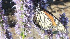Plant a Beautiful Butterfly Theme Garden.    http://dinasherbcraftsandgraphics.blogspot.com/2013/03/butterfly-gardens.html  #gardens #butterflies #themegardens #themes #diy #crafts #flowers #herbs
