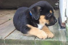 blue pitbull rottweiler mix puppies | Zoe Fans Blog