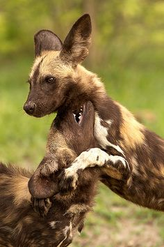 Young African Wild Dogs Playing in Kwando Lebala, Botswana by Thomas Retterath Animals And Pets, Baby Animals, Cute Animals, Wild Animals, Baby Hippo, Coyotes, Beautiful Creatures, Animals Beautiful, African Wild Dog