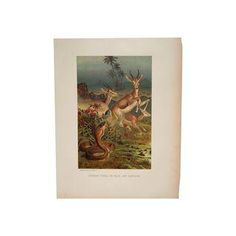 19th C. Cobra & Antelopes Chromolithograph