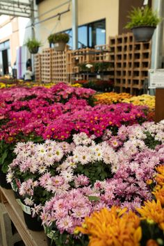 Potted Mums, Fall Planting, Citrus Heights, Silver Falls, Coral Bells, Sun And Water, Heuchera, Potting Soil, Beautiful Things