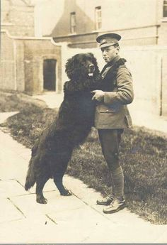 """Sable Chief with his handler, Private Hazen Fraser(CEF research) Sable Chief was the famous mascot of the 2nd Battalion of the Newfoundland Regiment. He was not your average dog.He weighed 150 lbs. for starters. He could march and (dog) salute for """"God Save The King"""". But war is not kind to dogs , even big ones, he was unfortunately, killed by a careless truck driver. His was body taken to a taxidermist, and his remains are on display in the Newfoundland Naval and Military Museum in St…"""