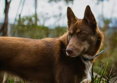 Meet Zali an Australian Red Kelpie only 15 months old sporting her winter coat the most gentle natured and obedient working dog I have ever met