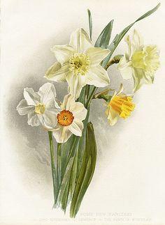 W. Robinson Flora & Sylva Prints by HG Moon 1903