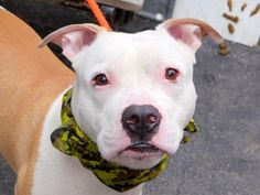 Manhattan Center YORK – A1032135  MALE, TAN / WHITE, PIT BULL MIX, 1 yr STRAY – STRAY WAIT, NO HOLD Reason STRAY Intake condition UNSPECIFIE Intake Date 04/03/2015