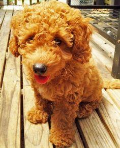 Golden doodle...adorable! doodles