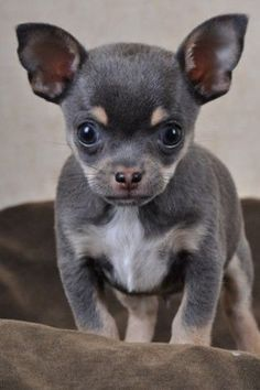 Effective Potty Training Chihuahua Consistency Is Key Ideas. Brilliant Potty Training Chihuahua Consistency Is Key Ideas. Teacup Chihuahua, Chihuahua Puppies, Cute Puppies, Cute Dogs, Dogs And Puppies, Doggies, Mundo Animal, Little Dogs, Cute Baby Animals