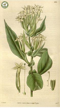 Cestrum bracteatum Link & Otto -Curtis's botanical magazine s.2 v.4 (1830)