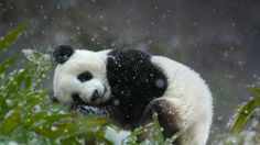 Giant panda cub, Wolong National Nature Reserve, Sichuan province, China (© Keren Su/Corbis) - 2014-01-01