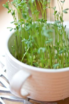 How to grow your own lentil sprouts