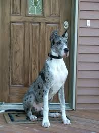 Image result for great dane mix