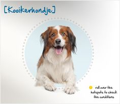 "Also known as the Dutch Decoy Dog, the Kooikerhondje originated in the Netherlands in the 1500s. His name gives away his profession: ""Kooikers"" were duck hunters who used a particular kind of trap (called a ""kooi""), and ""hond"" is the Dutch word for ""dog."" He was originally trained to lure ducks into traps while his master hid in a blind."