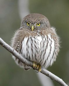 Northern Pygmy-Owl by gyr Owl Photos, Owl Pictures, Exotic Birds, Colorful Birds, Beautiful Owl, Animals Beautiful, Owl Bird, Baby Owls, Pretty Birds