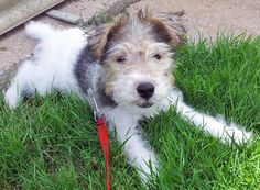 love wire hair fox terriers! this little guy's almost as cute as my harley