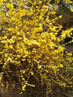 Forsythie Goldglöckchen Sunshine, Nikko