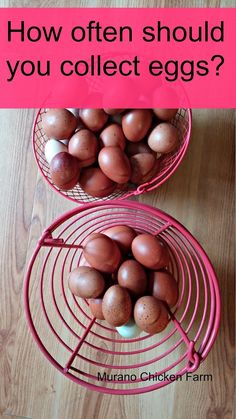 How often should you collect eggs from the coop? Article from Muranochickenfarm.com