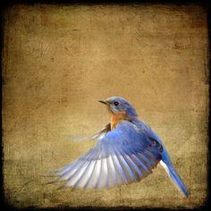 Bluebird on the Wing