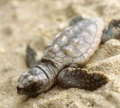 South Carolina designated the migrating loggerhead sea turtle (Caretta caretta) as the official state reptile in listed as threatened; can weigh over 200 pounds. Endangered Species, Costa Rica, Sea Turtle Facts, Sea Turtle Pictures, Baby Turtles, Sea Turtles, Ninja Turtles, Loggerhead Turtle, Viajes