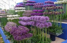 Alliums for the flower garden How to grow alliums, what variety to choose Hardy Easy Not susceptible to any serious plant diseases or pests and even ornamental alliums are deer and rodent resistant because they are technically members of the onion family Garden Plants, Plants, Perennials, Beautiful Flowers, Perennial Garden, Flower Garden, Plant Diseases, Garden Planning, Flowers
